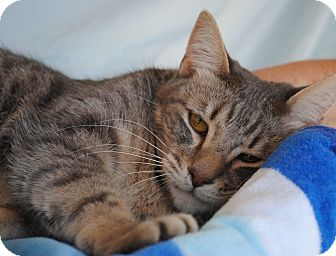 Domestic Shorthair Cat for adoption in Palmdale, California - Lucie