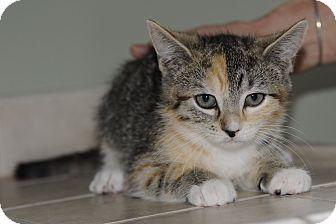 Domestic Shorthair Kitten for adoption in Plainville, Massachusetts - Cedar 2