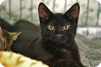 Domestic Shorthair Kitten for adoption in Lombard, Illinois - Sochi