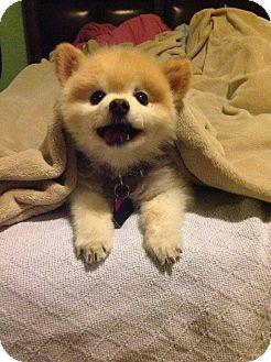 Pomeranian Dog for adoption in Edmond, Oklahoma - Buttons