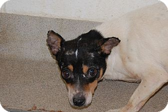 Rat Terrier Dog for adoption in Bucyrus, Ohio - Cookie