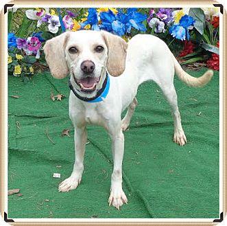 Beagle Mix Dog for adoption in Marietta, Georgia - LUCKY (R)