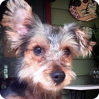 Yorkie, Yorkshire Terrier Mix Dog for adoption in Gainesville, Florida - Forrest