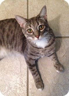 Domestic Shorthair Cat for adoption in Chicago, Illinois - Willow