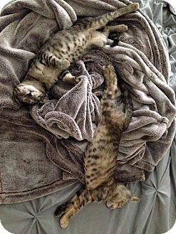 American Shorthair Cat for adoption in Boynton Beach, Florida - Alice and Eloise
