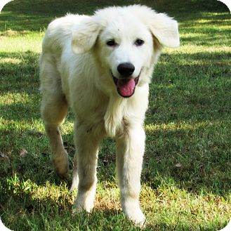 Great Pyrenees Mix Puppy for adoption in Kyle, Texas - Tatum *New*