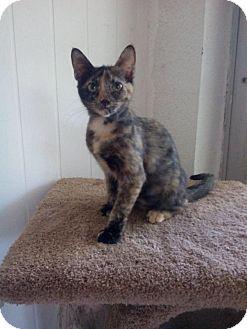 Domestic Shorthair Kitten for adoption in Sarasota, Florida - Winnie