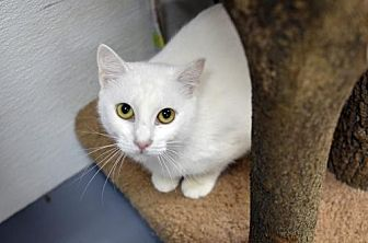 Domestic Shorthair Cat for adoption in Atlanta, Georgia - KK 12692