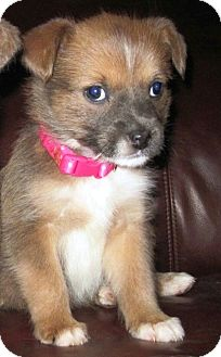 Terrier (Unknown Type, Medium)/Cairn Terrier Mix Puppy for adoption in San Francisco, California - Toni