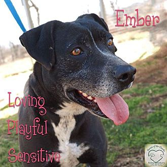 Border Collie/Labrador Retriever Mix Dog for adoption in Washburn, Missouri - Ember