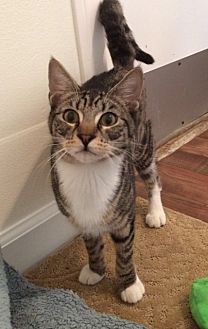 Domestic Mediumhair Cat for adoption in Midway City, California - Andy