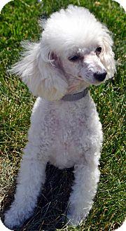 Poodle (Miniature) Dog for adoption in Bridgeton, Missouri - Tegan