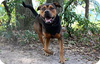 Rottweiler Mix Dog for adoption in Voorhees, New Jersey - Zeus