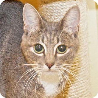 Domestic Shorthair Cat for adoption in Eastsound, Washington - Ella