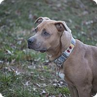 Adopt A Pet :: Harlow - Des Peres, MO