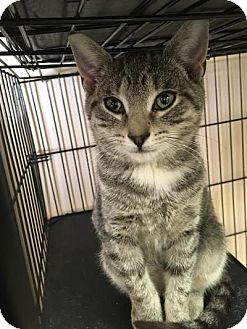 Domestic Shorthair Kitten for adoption in East Brunswick, New Jersey - Crush