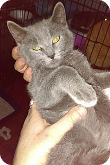 Russian Blue Kitten for adoption in Brooklyn, New York - Toby