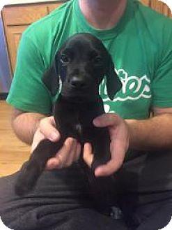 German Shorthaired Pointer Mix Puppy for adoption in Marlton, New Jersey - Midnight