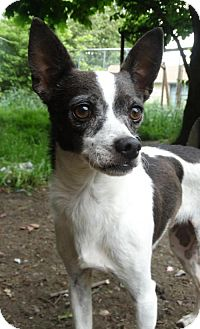 Chihuahua/Italian Greyhound Mix Dog for adoption in Tacoma, Washington - Rambo