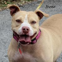 American Pit Bull Terrier Mix Dog for adoption in Madisonville, Tennessee - Irene