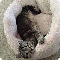 Domestic Shorthair Kitten for adoption in Mobile, Alabama - versacahe '