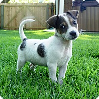Rat Terrier Mix Puppy for adoption in Southbury, Connecticut - Finch~adopted!