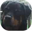 Rottweiler Dog for adoption in Hamilton, Ontario - Raven
