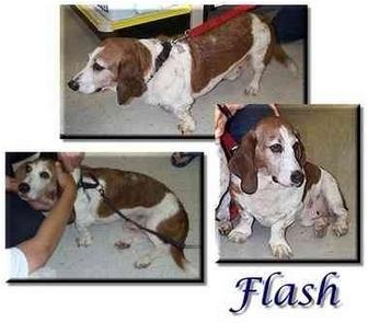 Basset Hound Dog for adoption in Marietta, Georgia - Flash