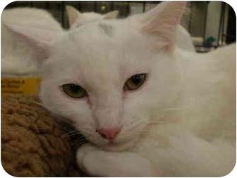 Domestic Shorthair Cat for adoption in Yorba Linda, California - Chuck