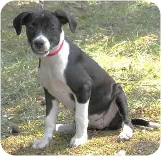 Boston Terrier/Labrador Retriever Mix Puppy for adoption in Pine Bluff, Arkansas - Tiara