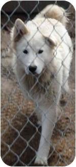 Alaskan Malamute Mix Dog for adoption in Shoreline, Washington - Maxamillion
