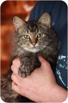 Maine Coon Kitten for adoption in Prince William County, Virginia - dusty