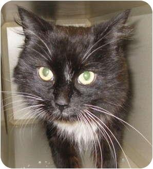 Domestic Mediumhair Cat for adoption in Mesa, Arizona - Tuni
