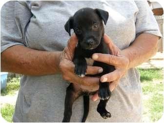 Labrador Retriever/American Bulldog Mix Puppy for adoption in Menasha, Wisconsin - June bug
