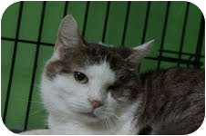 Domestic Shorthair Cat for adoption in Medford, Massachusetts - Madison