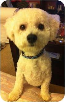 Poodle (Miniature)/Bichon Frise Mix Dog for adoption in Schaumburg, Illinois - Fozzie