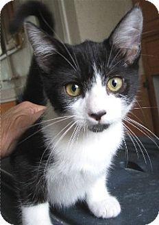 Domestic Shorthair Kitten for adoption in Schertz, Texas - Sprite