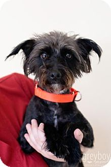 Schnauzer (Miniature)/Terrier (Unknown Type, Small) Mix Dog for adoption in Mission Viejo, California - Cosmo