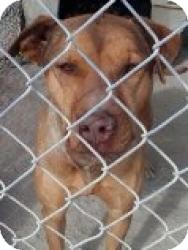 Shepherd (Unknown Type) Mix Dog for adoption in Las Vegas, Nevada - T's Tahiti aka Porter
