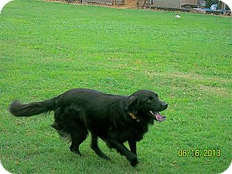 Labrador Retriever/Flat-Coated Retriever Mix Dog for adoption in Allentown, Pennsylvania - Dixie
