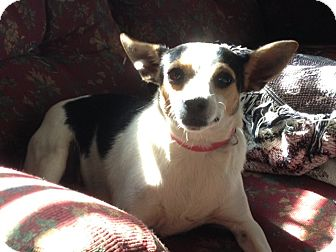 Rat Terrier Mix Dog for adoption in Bedminster, New Jersey - Tippy