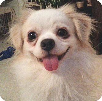 Pekingese Mix Puppy for adoption in Orlando, Florida - Teddy