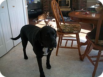 Labrador Retriever Dog for adoption in Cornwall, Ontario - Teddy