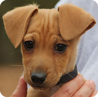 Dachshund Mix Puppy for adoption in Pewaukee, Wisconsin - Polo