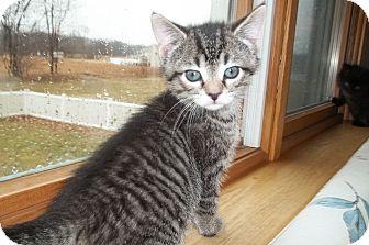 Domestic Shorthair Kitten for adoption in Acme, Pennsylvania - Kenya
