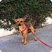 Adopt A Pet :: PEE WEE - Irvine, CA