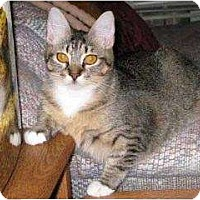 Domestic Shorthair/Domestic Shorthair Mix Cat for adoption in Schertz, Texas - Clarissa