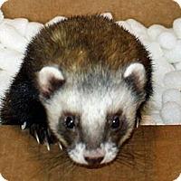 Adopt A Pet :: Asiago - Indianapolis, IN
