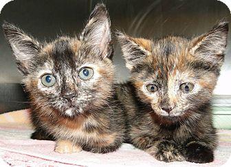 Domestic Shorthair Kitten for adoption in Brooksville, Florida - 1023327