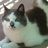 Domestic Shorthair Cat for adoption in Savannah, Missouri - Dolly